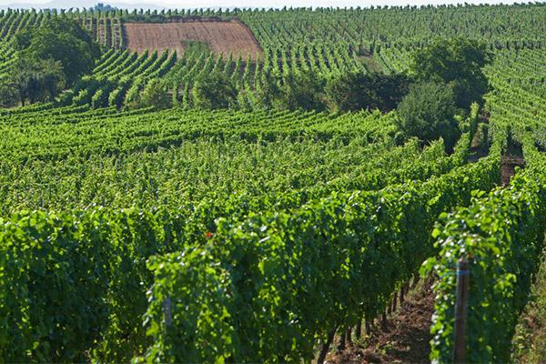 Vignoble du Reveur (2)